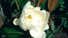 Magnolia-grandiflora-Exmouth-(thanks-to-RHS for image)