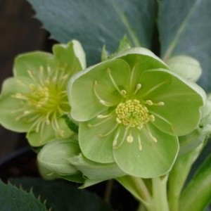 -Helleborus-Argutifolius-herbaceous-at-Downside