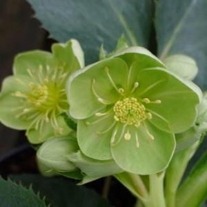 -Helleborus-Argutifolius-herbaceous-at-Downside