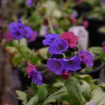 Pulmonaria Blake's Silver at Downside Nurseries