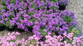 Aubretia at Downside Nurseries