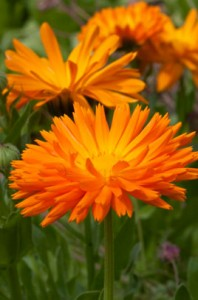 image of Calendula officianalis