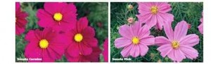 image of Cosmos Sonata Carmine & Pink