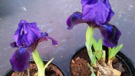 Iris Pumila at Downside Nurseries