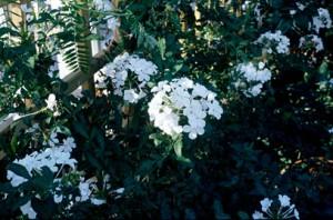 Plumbago white