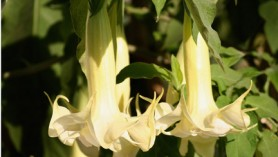 Brugmansia (Angels Trumpets) at Downside Nurseries