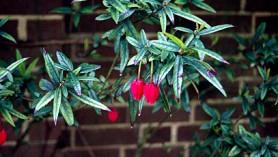 Crinodenddron hookerianum Chile Lantern tree