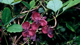 Akebia quinata courtesy of RHS