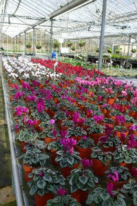 Cyclamen bench at Downside Nurseries 890