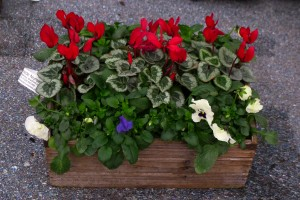 Cyclamen & pansy basket