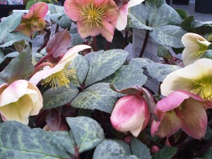 Helleborus Winter Moonbeam 1