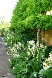 Narcissus-Pleached-hornbeam