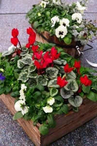W Cyclamen & pansy basket portrait 834