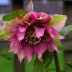 W Hellebore double queen pink 838