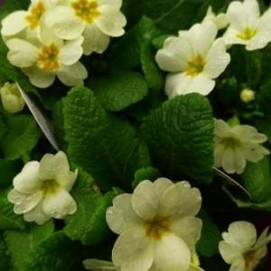 W Primula English primrose 846
