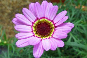 Argyranthemum-Grandaisy-Pink-Halo