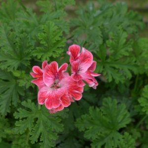 Pelargonium Geranium scentedMme Nonin