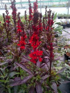 Herbaceous Perennials for July colour