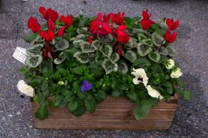 pansies and cyclamen
