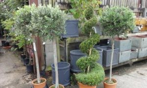 Oleo Europea and Buxus Sempervirens Spiral with Errington Reay pots web 663