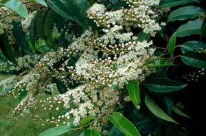 Prunus lusitanica - Portuguese Laurel (RHS)