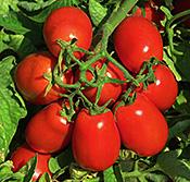 Heinz H3402 tomato