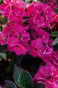 Hydrangea Merveille Sanguine