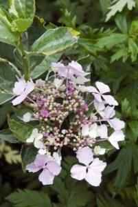Hydrangea macrophylla Quadricolor