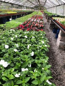 New Guinea Impatiens at Downside