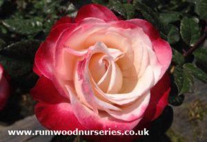 nostalgia rose, Rumwood Nurseries