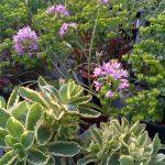 Euphorbia Amy Purpurea, Allium Eros, Sedum 'Lajos' Autumn Charm
