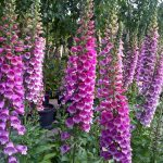 Foxgloves at Downside