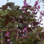 Lablab purpureus lablab beans