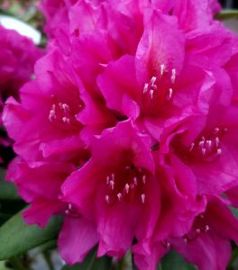 Rhododendron at Downside Nurseries
