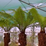 Tree ferns. Dicksonia Antartica