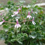 scented Pelargonium Fragrans