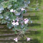 scented Pelargonium Lavender Lindy