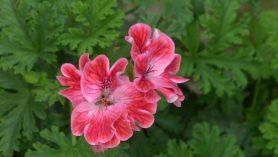 scented Pelargonium Mme Nonin