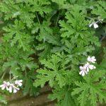 scented-Pelargonium-Prince-of-Orange