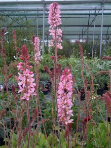 Francoa 'Pink Bouquet'