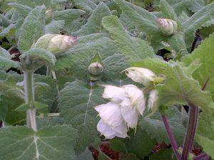 Salvia sclaria 'Turkestanica'