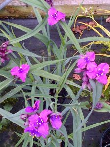 Tradescantia Concorde Grape
