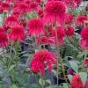 Echinacea-Double-Scoop-Cranberry