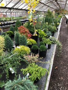 Conifers-at-Downside-Nurseries