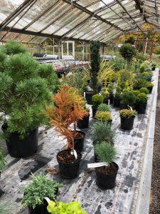Conifers at Downside Nov 2019